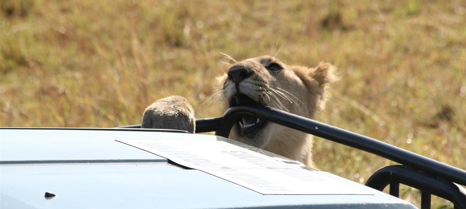 Mara lion sampling car (photo by Steward Shang)