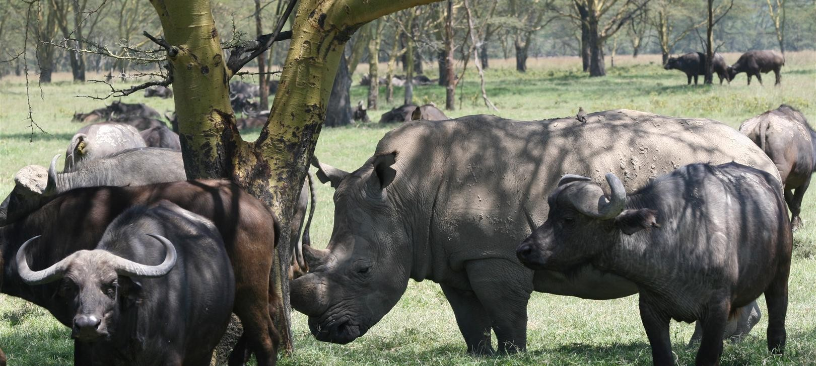 buffalo and rhino sharing shade (photo by Steward Shang)