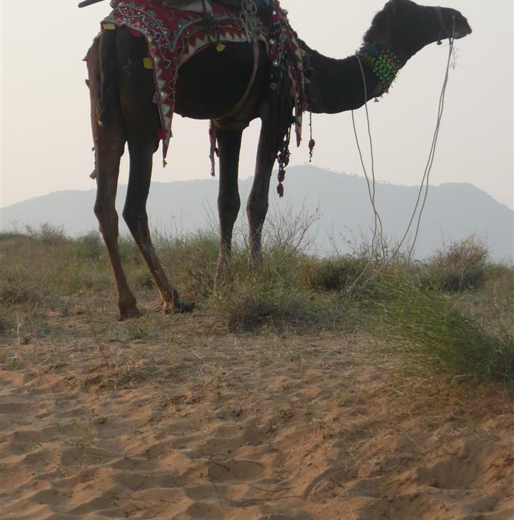 camel with mount (photo by Dick Sakahara)