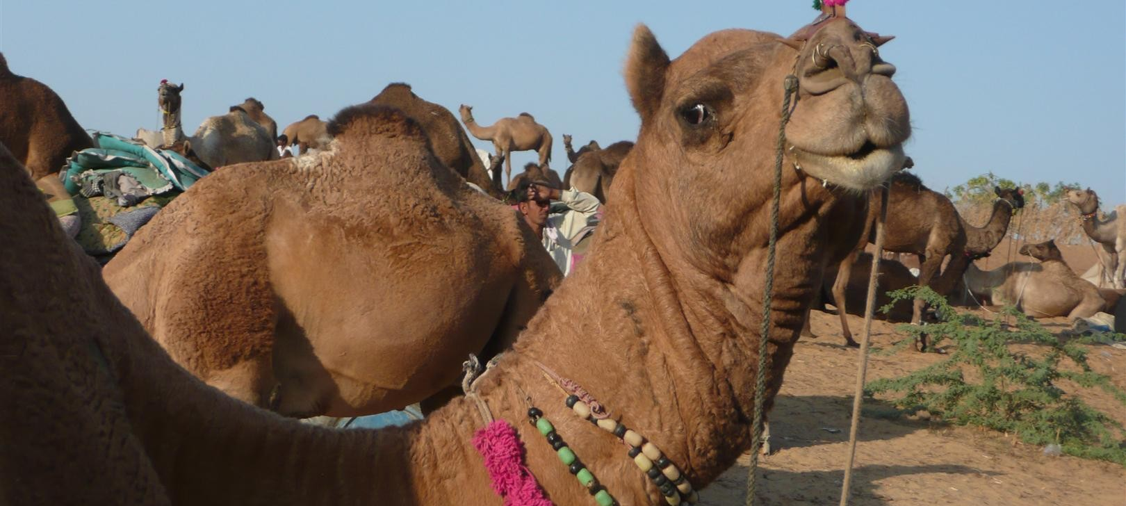 camels closeup (photo by Dick Sakahara)