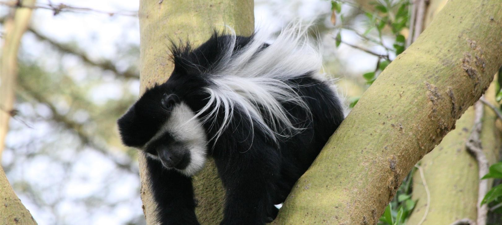 colobus at Elsamere more (photo by Steward Shang)