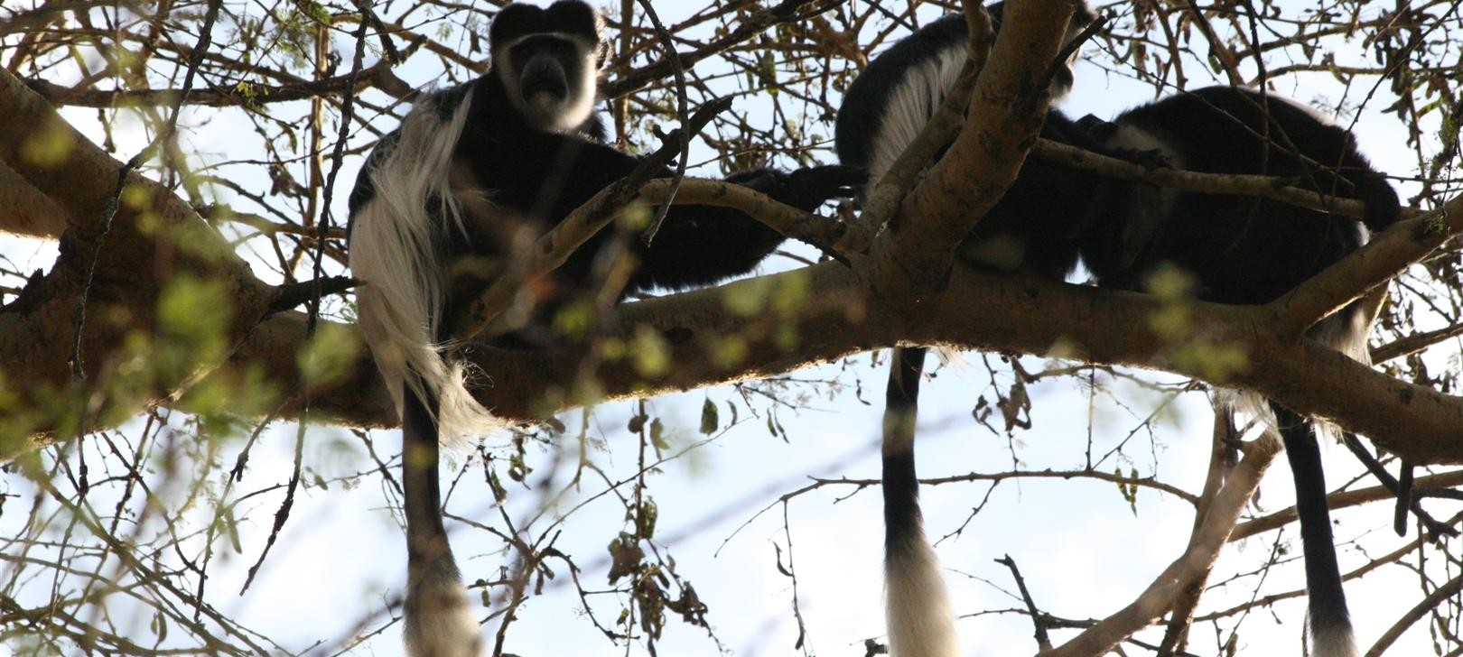 colobus at Elsamere (photo by Steward Shang)
