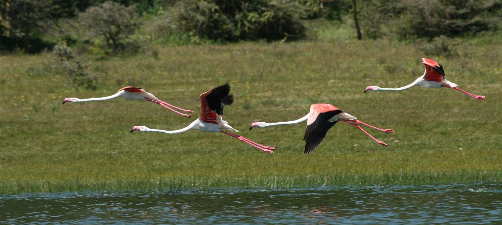 flamingo in flight from Oloiden Lake, Kongoni (photo by Steward Shang)