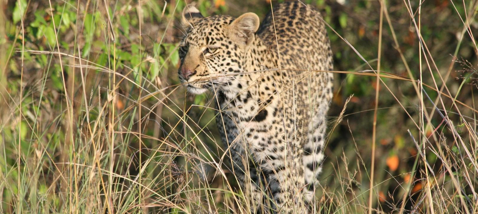 leopard near Private Camp (photo by Steward Shang)