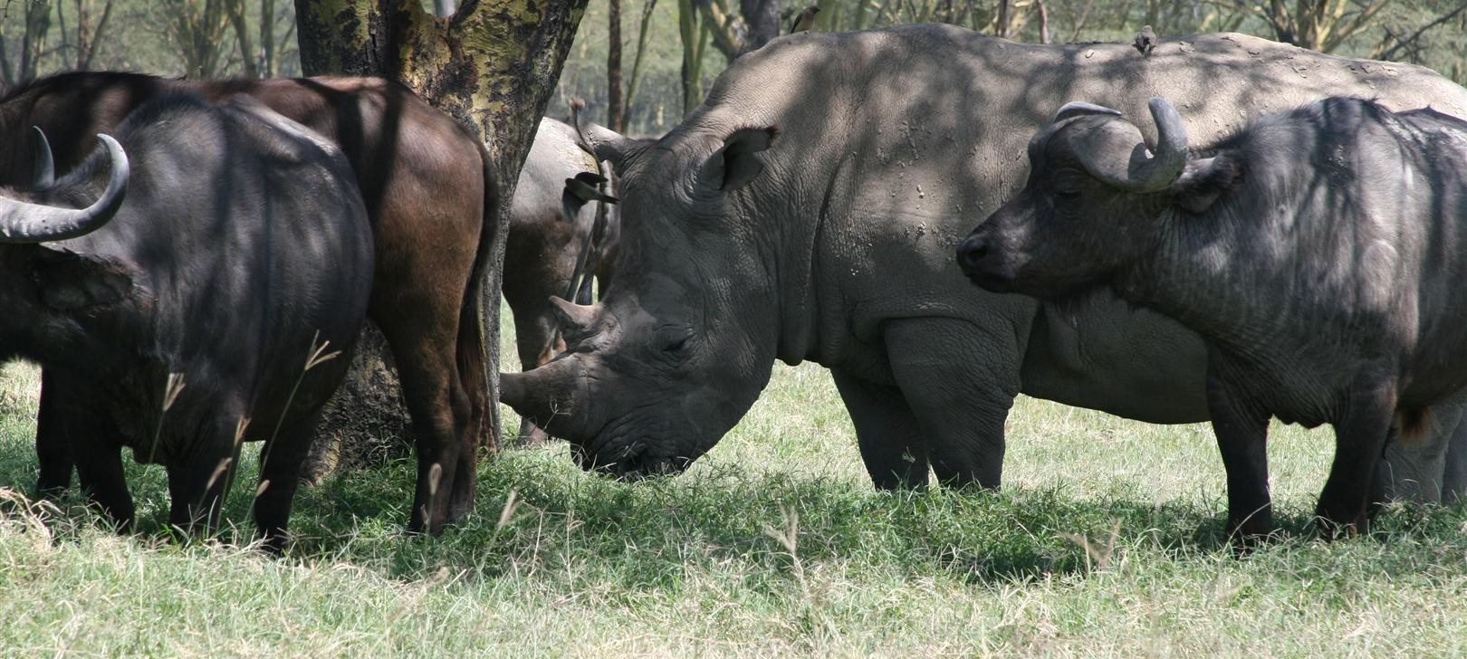 rhino and buffalo at Nakuru more (photo by Steward Shang)