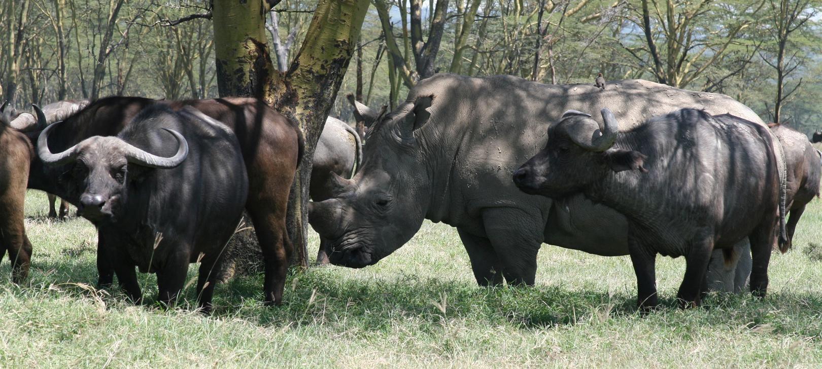rhino and buffalo at Nakuru (photo by Steward Shang)