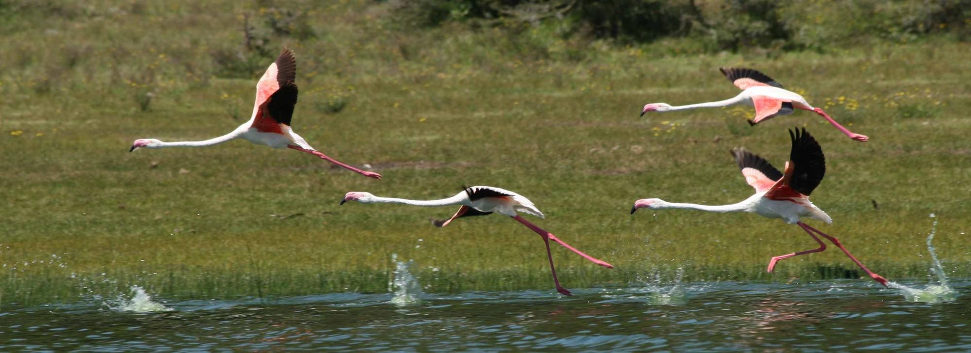 s2_flamingo